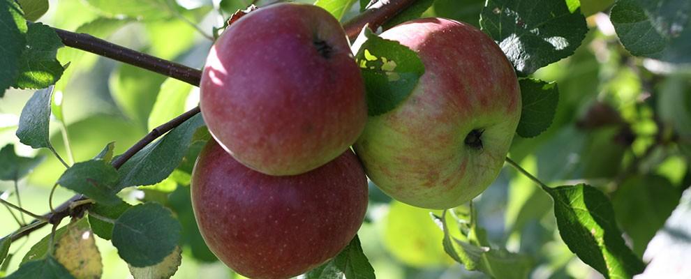 canton-apple-apples-on-tree-r1