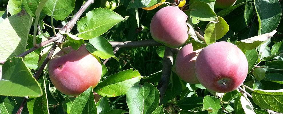 canton-apple-ripe-apples-on-tree-r1