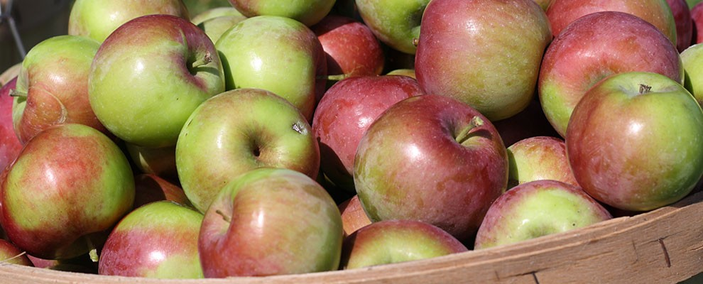 canton-apple-ripe-harvested-apples-r1